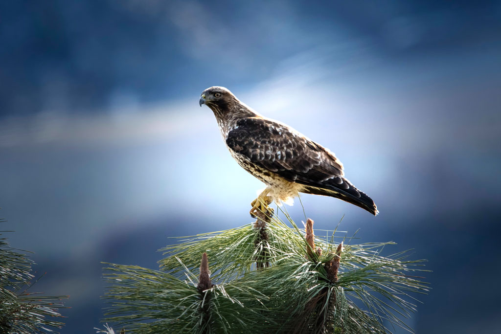 A Red Tailed Hawk sitting on top of a tree