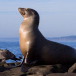 A Sea lion sitting on a rock