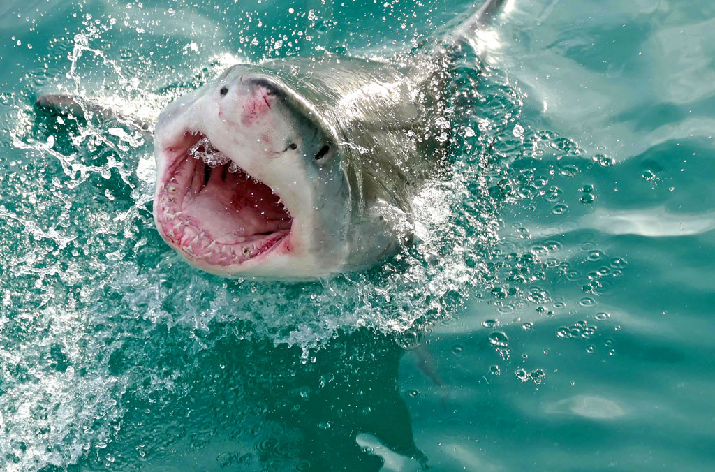 A Great White Shark with its mouth open displaying its rows of teeth and tongue
