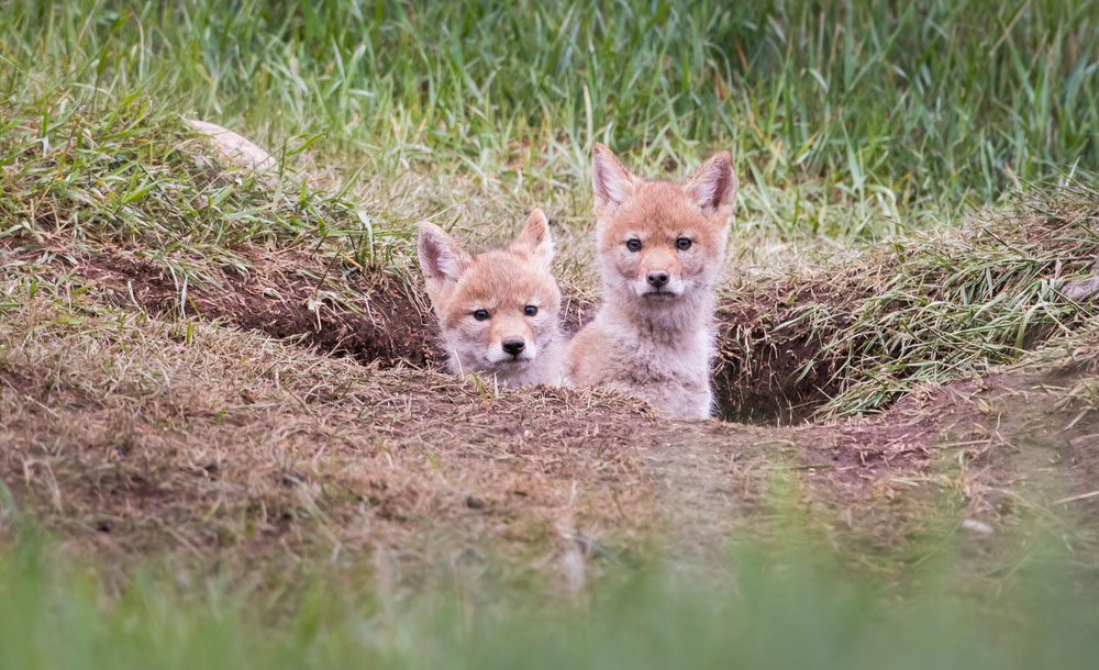 Two baby coyote puppies poke their heads out of their den hole