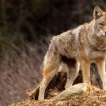 An Adult coyote standing Up
