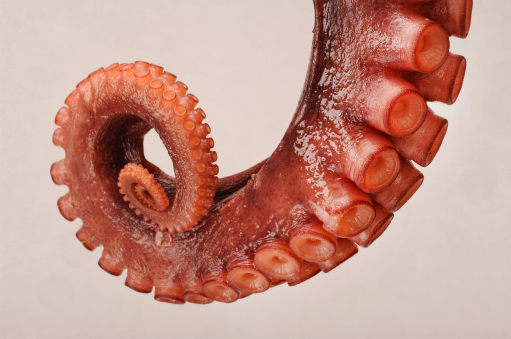 An octopus tentacle arm wrapped up with suction cups