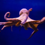 An octopus in the water with his eight arms stretched out