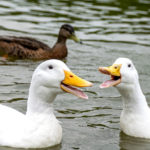Do ducks have teeth and other questions