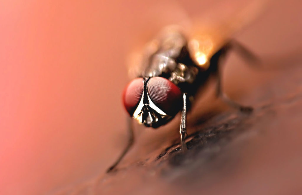 A close up photograph of a fly insect with detail of the eyes