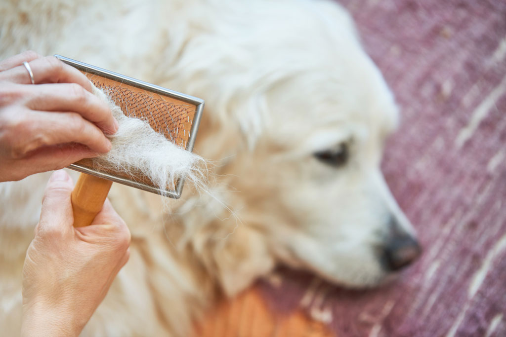 A dog brush full of yellow hair from the golden retriever dog