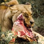 do lions eat other lions