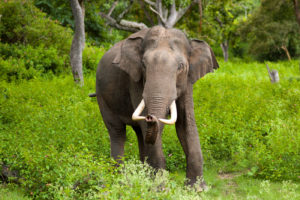 A male Indian elephant with tusks